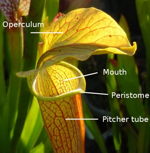 "A close-up of the cup (or ""trumpet"") of a Pitcher Plant.  With labels, for the anatomically curious.  :)"