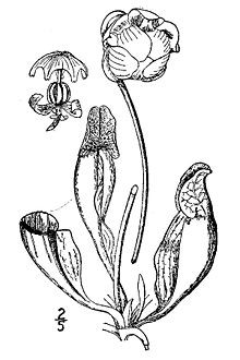 Old-fashioned botanical illustration of Sarracenia purpurea.
