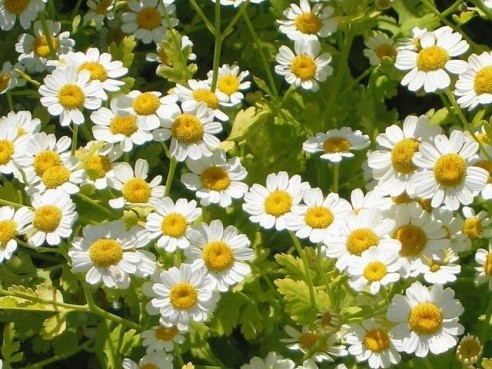 Wikipedia's Batchelor's Buttons.  Also known as Feverfew (Linda Kershaw might not agree!), Featherfew, and Tanacetum parthenium.