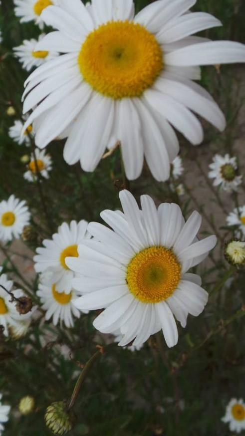 oxeye_daisy_aka_batchelor_button_02