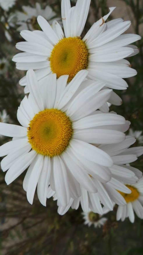 oxeye_daisy_aka_batchelor_button_03