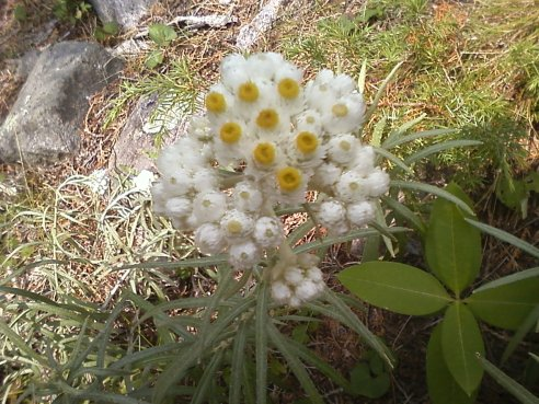 Pearly everlasting.  Shot taken on my cousin's  flip phone camera.