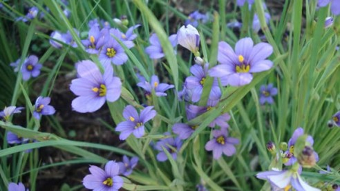 stout_blue_eyed_grass