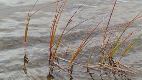 Reeds growing in the beautiful Ottawa River.