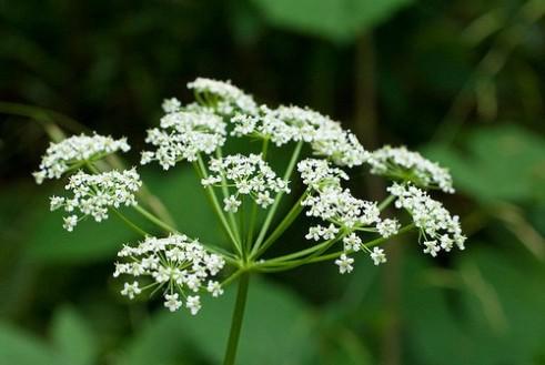 hemlockflowers